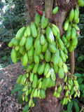 Conjuntos de fruto verde de Bilimbi na árvore na costa norte tropical Oahu, Havaí Imagem de Stock