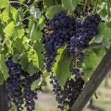 Conjuntos de uvas fotografia de stock royalty free