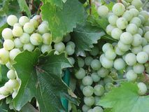 Conjuntos de uvas verdes fotografia de stock
