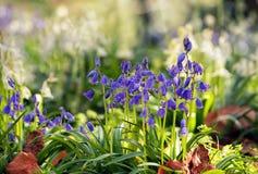 Conjuntos e folhas de flor da campainha em um gramado do jardim no dia ensolarado Imagem de Stock Royalty Free