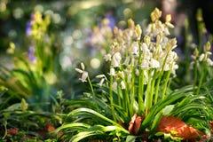 Conjuntos e folhas de flor da campainha em um gramado do jardim no dia ensolarado Foto de Stock