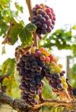 Conjuntos maduros da uva vermelha na videira Imagem de Stock