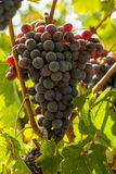 Conjuntos maduros da uva vermelha na videira Fotografia de Stock Royalty Free