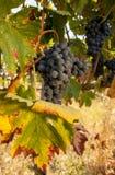 Conjuntos maduros da uva vermelha na videira Fotos de Stock Royalty Free