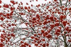 Conjuntos vermelhos brilhantes de cinza de montanha imagem de stock royalty free