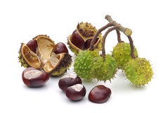 Conker 10 royalty free stock photo