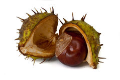 Conker. From horse chestnut tree royalty free stock photos