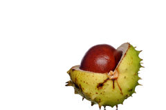 Conker. From horse chestnut tree stock photography