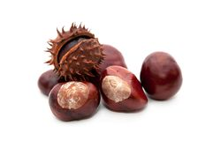 Conker royalty free stock photo