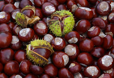 Conker 17. Conkers in fall, brown conker stock image