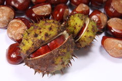 Conker. From horse chestnut tree royalty free stock image