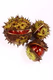 Conker. From horse chestnut tree stock photo