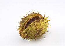 Conker Royalty Free Stock Photography