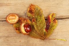 Conker and Autumnal leaf. Conker and Autumnal horse chestnut leaf on old weathered wood royalty free stock image