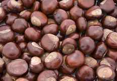 Conker background. Conkers of Horse Chestnut (Aesculus hippocastanum Royalty Free Stock Images