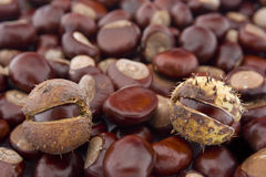 Conker background. Conkers of Horse Chestnut (Aesculus hippocastanum Royalty Free Stock Image