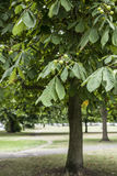 Conker drzewo w parku Fotografia Royalty Free