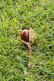 Conker in grass Royalty Free Stock Photo