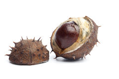 Conker or horse chestnut in capsule Royalty Free Stock Photography