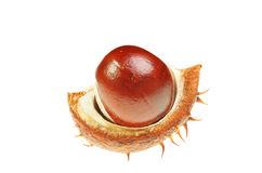 Conker in husk Royalty Free Stock Photos