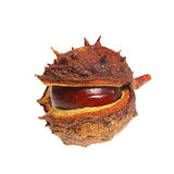 Conker in husk Stock Photos