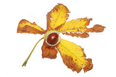 Conker on leaf Royalty Free Stock Photography