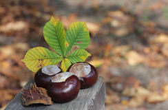 Conker and leaf on bench in autumn park Stock Photos
