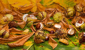 Conker and leaves Royalty Free Stock Image