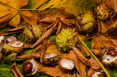 Conker and leaves. As backround at autumn stock image