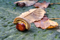 A Conker and Leaves on a Lichen Covered Wall Stock Images