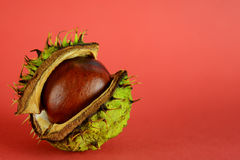 Conker shell splitting to reveal conker Royalty Free Stock Image