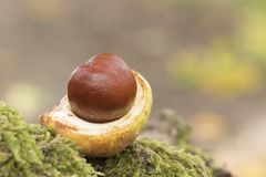 A conker in its case on Southampton Common Royalty Free Stock Image