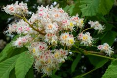 Conker tree, Aesculus hippocastanum. Conker tree Aesculus hippocastanum, close up of the blossom stock images