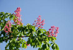 Conker tree blossoms and sky Royalty Free Stock Images