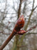Conker tree bud Royalty Free Stock Images