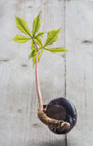 Conker tree germination. Horse chestnut seed germinated conker tree germination Royalty Free Stock Photography