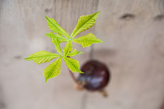 Conker tree germination. Horse chestnut seed germinated conker tree germination Stock Photo