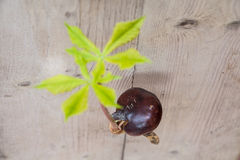 Conker tree germination. Horse chestnut seed germinated conker tree germination Royalty Free Stock Images