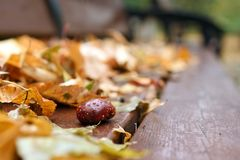 Conker with water drops and dry autumnal leaves royalty free stock photo