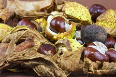 Conkers Stock Photos
