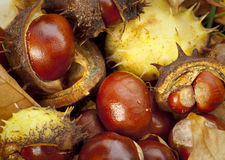 Conkers Stock Foto