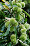 horse chesnut tree branch with conkers Royalty Free Stock Image