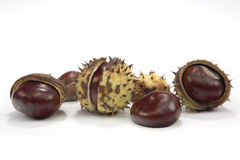 Conkers. Of Horse Chestnut (Aesculus hippocastanum) on white background Royalty Free Stock Photo