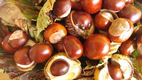 conkers Immagine Stock