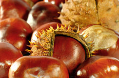 Conkers. Close. There is him between them so that did not come out yet totally from the hawk Stock Photo