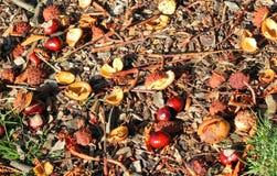 Conkers caidos a la tierra en la caída o el otoño Imágenes de archivo libres de regalías