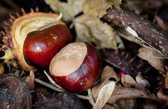 Conkers - castanhas-da-índia em um assoalho da floresta Fotografia de Stock
