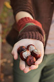 Conkers. Chestnuts in hands of girl Royalty Free Stock Photo