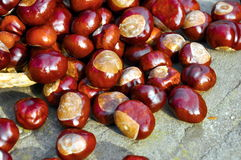 Conkers Stock Photography