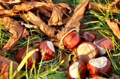 Conkers Royalty Free Stock Images